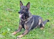 Dieser Polizeihund mit Namen Ivo stoppte einen der beiden Flüchtenden. (Bild: PD)