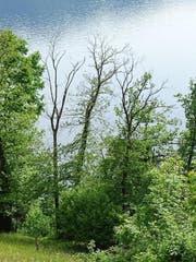 Bereits abgestorbene oder sehr schütter belaubte Edelkastanien im Walchwiler Wald deuten auf Schädlingsbefall hin. (Bild: PD)