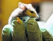 72 Prozent der Tiere für die Versuche in den Laboren sind Mäuse oder Ratten. (Bild: Robert F. Bukaty/AP)
