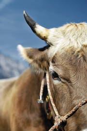 Zwei Kühe haben sich auf Urner Alpen mit BVD infiziert. (Bild: Angel Sanchez (3. Oktober 2009))