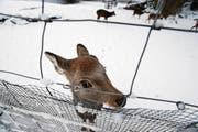 Wie der Schnee den Hirschen im kleinen Hirschgarten in der Schützenmatt gefällt, ist schwer zu sagen. (Bild: Stefan Kaiser (Zug, 12. Dezember 2017))