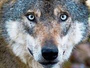 Der Wolf hat in der Zentralschweiz nicht nur Freunde – er muss sich etwa vor Schützen in Acht nehmen, die sich nicht an das Gesetz halten. (Symbolbild: Julian Stratenschulte/Keystone (Mecklenburg-Vorpommern, 2. Jan. 2016))