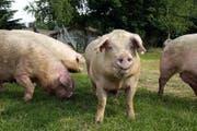 Nirgendwo sonst in der Schweiz gibt es so viele Schweine wie im Kanton Luzern. (Symbolbild Neue LZ)