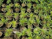 Die Polizei stellte nach einem Tipp des Sohnes 19 Cannabispflanzen im Garten seiner Familie sicher. (Symbolbild) (Bild: KEYSTONE/AP/RICARDO ARDUENGO)
