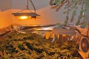 In der Wohnung des Festgenommenen fand die Polizei eine Hanf-Indoor-Anlage. (Bild: Luzerner Polizei)