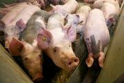 Im Kanton Uri wurde ein Schweinemastbetrieb wegen eines Virus gesperrt (Symbolbild Neue LZ)