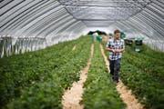 Einen Teil der Erdbeeren haben die Boogs dieses Jahr mit einem Tunnel geschützt. Im Bild Jonas Boog. (Bild Stefan Kaiser)