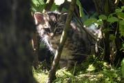 Eine Wildkatze im Natur- und Tierpark Goldau. (Bild: pd)