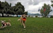 Hunde spielen auf der Wiese beim Churchill-Quai in Luzern. (Archivbild Nadia Schärli)