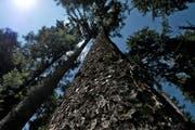 Rund 10'000 Bäume sollen gesamthaft gepflanzt werden – darunter auch im Gebiet Sonnenberg oder Napf. (Symbolbild) (Bild: Nadia Schärli / Neue LZ)
