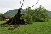 Wie gross die Gewalt des Gewitters war zeigt dieser entwurzelte Baum in Oberdorf. (Bild: Oliver Mattmann / Neue OZ)