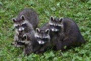 Vier der kleinen Racker tollen auf der Wiese herum. (Bild: Natur- und Tierpark Goldau)