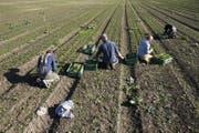Arbeiter ernten auf einem Feld Nüssli-Salat (Symbolbild). (Bild: Peter Klaunzer / Keystone (Bern, 18. Oktober 2017))