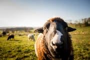 Ein Schaf auf einer Wiese im Kanton Luzern. (Archivbild/Neue LZ/Roger Gruetter)