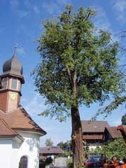 Kein optimaler Nährboden: Der Belag der Kantonsstrasse reicht bis an den hohlen Baumstamm heran. (Bild: PD)