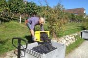 Ein Winzer bei der Weinernte: Im Kanton Luzern wurden im Jahr 2013 über 300 Tonnen Trauben geerntet. (Bild: pd)