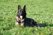 Schutzhund Inox der Luzerner Polizei. (Bild: Kapo Schwyz)