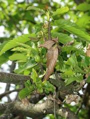 Gallen der Kastaniengallwespe verursachen Missbildungen an Blättern und Fruchtständen. (Bild: PD)