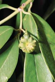 Sternanis ist die Frucht eines Magnolienbaums. (Bild: Getty)