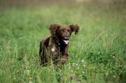 Ein Hund tollt auf der Wiese herum. (Bild: Pius Amrein/ LZ)