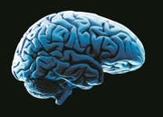 Human brain model, studio shot (Bild: Steve McAlister (The Image Bank))