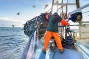 Ein Schleppnetzfischer auf hoher See holt seinen vollen Fang ein. (Bild: Getty)