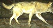 Ist in die Fotofalle getappt: Der Wolf aus Seelisberg. (Bild: pd)
