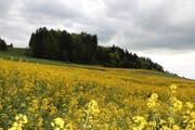 Rapsfelder auf dem Buttenberg bei Rickenbach, nach dem späten Wintereinbruch etwas zerzaust. (Bild: Leserbild: Josef Habermacher)
