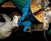 Foie gras stammt von zwangsgemästeten Gänsen. (Bild: Bob Edme/AP (La Bastide Clairence, 8. Dezember 2016))