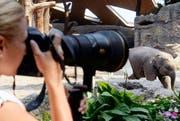 Sie ist ein sehr beliebtes Fotosujet im Zoo Zürich. (Bild: Keystone)