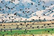 Die Zahl der Vögel nimmt weltweit drastisch ab. (Bild: Getty)