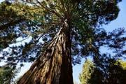 Der Mammutbaum in Bad Schönbrunn: Sein Stamm hat einen Durchmesser von 7,9 Metern. (Bild: Stefan Kaiser / Neue ZZ)