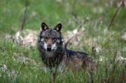 Ein Wolf, aufgenommen im Wallis im Mai 2013. (Bild: Keystone / Marco Schmidt)
