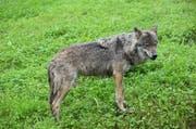 Der Abschuss von Wölfen, die beispielsweise durch das Töten von Schafen zum Problem werden, sorgt immer wieder für Diskussionen. (Bild: Romano Cuonz / Neue NZ)