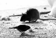 Paris kämpft gegen Ratten. (Bild: Keystone / Str)