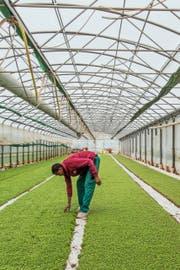 Im Gegensatz zu anderen Branchen sind in der Landwirtschaft die Hürden für die Beschäftigung von Flüchtlingen tiefer. Symbolbild: Patrick Straub/Keystone
