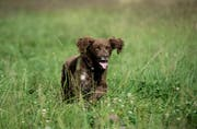 So wie der Name des kurzhaarigen Lagottos Juri (im Bild auf der Luzerner Allmend), sind im Kanton Luzern weitere 20'460 Hundenamen registriert. (Bild: Pius Amrein / Neue LZ)