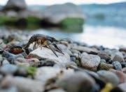 Kamberkrebse sind vor einigen Jahren in den Zugersee eingewandert und verbreiten sich im ganzen See. Das Bild zeigt ein Exemplar bei der Bucht beim Kanu Klub Zug, wo es vor ein paar Jahren diese Krebsart noch nicht gab. (Bild: Stefan Kaiser (Zug, 18. April 2017))
