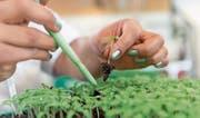 Das Geschäft mit Saatgut lief bei Syngenta im letzten Geschäftsjahr besser als dasjenige im Bereich Pflanzenschutz. (Bild: PD)