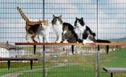 Auf der Suche nach einem neuen Zuhause: drei Katzen im Tierheim in Allenwinden. (Bild: Stefan Kaiser (Allenwinden, 3. April 2017))