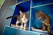Noch gilt für sie keine zwingende Chip-Pflicht: Zwei Katzen im Tierheim an der Ron in Root. (Bild Pius Amrein)