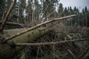 Andere Bäume liegen schräg in der Landschaft. (Bild: Pius Amrein (Lieli, 8. Januar 2018))