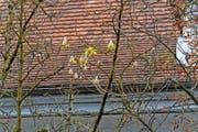 Die Blüten der Kastanienbäume an der Obergrundstrasse. Bild: Roger Grütter (Luzern, 7. Oktober 2016)