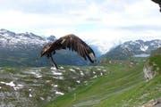 Der Bartgeier fliegt erneut in die Freiheit. (Bild: PD / Daniel Hegglin)