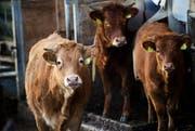 Rinder in einem Freilaufstall (Symbolbild). (Bild: Manuela Jans)