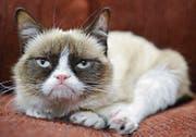 Mürrischer Internetstar: Grumpy Cat. (Bild: AP)