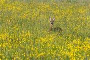 Ein Reh in einer Blumenwiese. (Archivbild Stefan Kaiser)