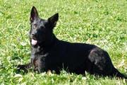 Tyson vom Schiffgarten, einer der beiden Diensthunde, die den Autodieb aufspürten. Tyson ist ein deutscher Schäfer, Rüde und 2 Jahre alt. (Bild: pd)