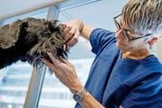 Tierärztin Käthi Bühler kontrolliert bei der Riesenschnauzerhündin Nala die Schleimhaut, weil diese bei Hitze anschwellen und zu Atemnot führen kann. (Bild Pius Amrein)