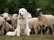 Er ist trotz allem ein Hund: Auch für ihn muss der Halter Hundesteuer bezahlen. (Bild: Keystone / Arno Balzarini)